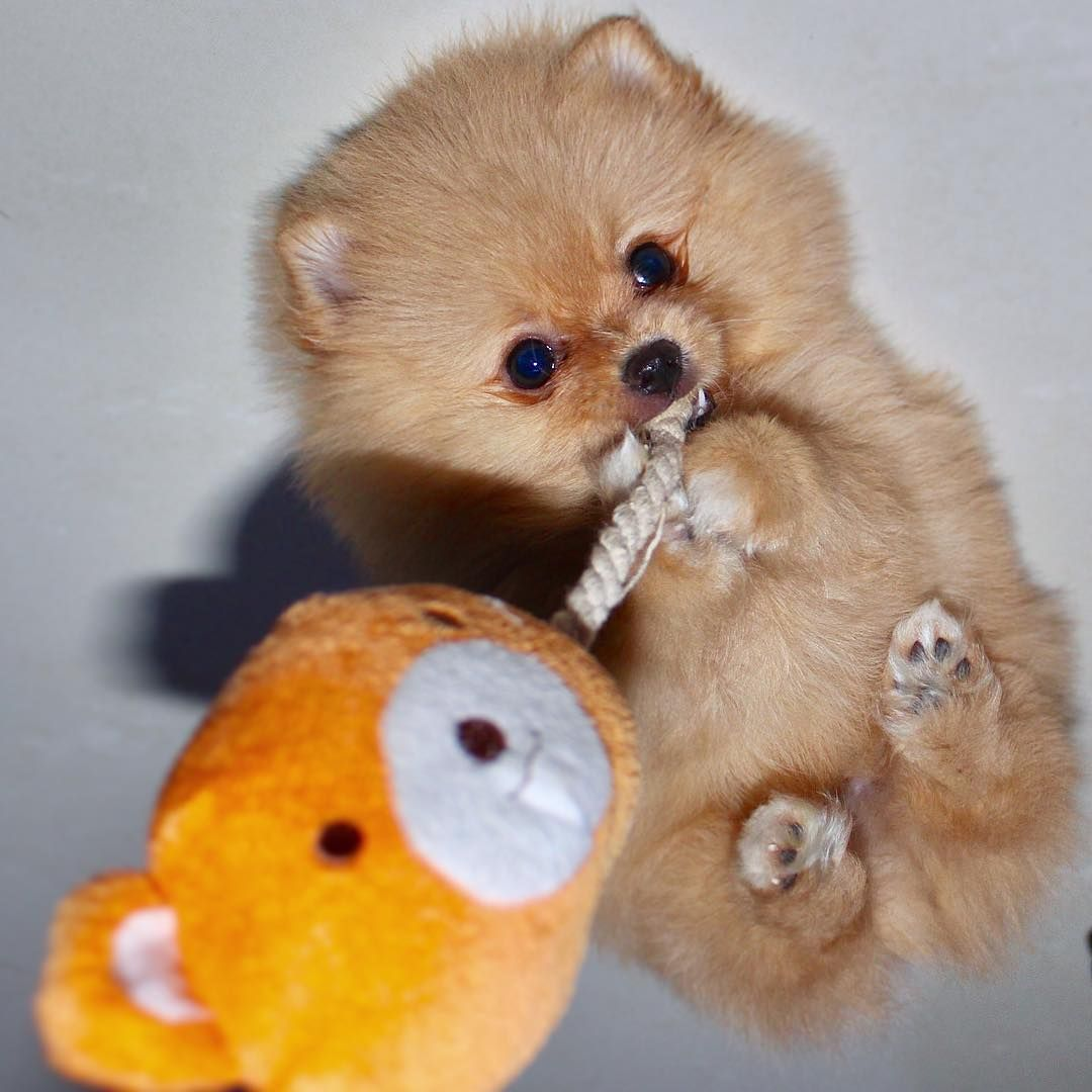 Ig Hi Im Chewie Cute Pomeranian Puppy Eyes Dog Behavior