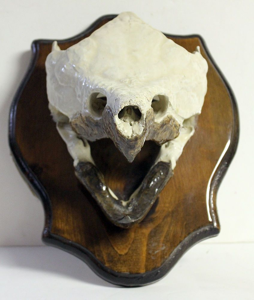 GIANT ALLIGATOR SNAPPING TURTLE SKULL Mounted TAXIDERMY Animal