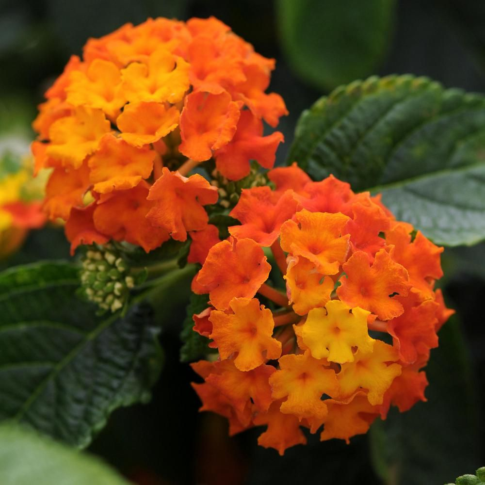 National plant network 25 in orange bloom lucky flame