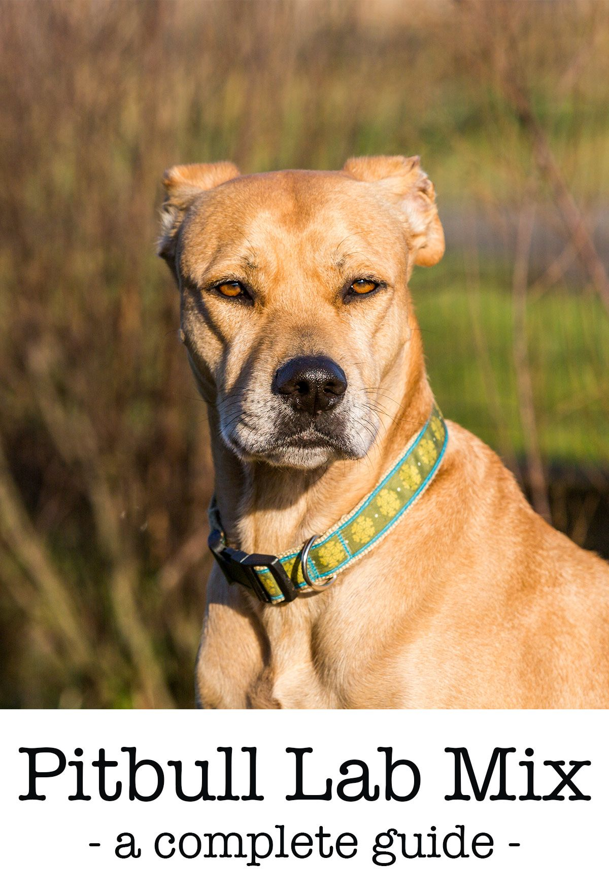 Pitbull Lab Mix A Complete Guide To The Bullador Pitbull Lab