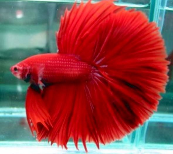 Red male betta fish hes all flared up looking at his for All about betta fish