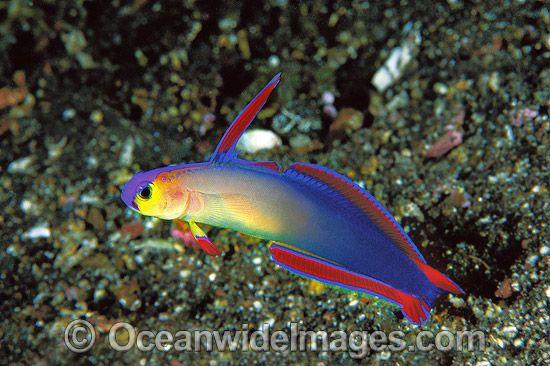 Purple Fire Goby Or Elegant Dartfish Image 24m1048 17 Ocean Dwellers Marine Fish Underwater Creatures