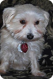 Jacksonville Fl Maltese Yorkie Yorkshire Terrier Mix Meet