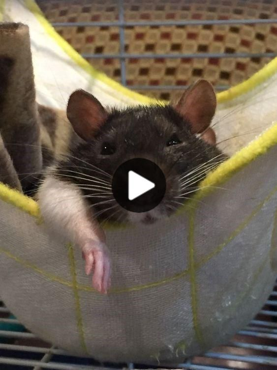Photos Of Rats in Hammocks Is The Best Way To Celebrate World Rat Day - World's largest collection of cat memes and other animals #cutestanimals #animalsart