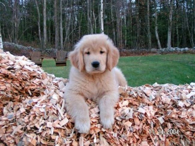 Golden Retriever Puppies For Sale In Michigan Zoe Fans Blog