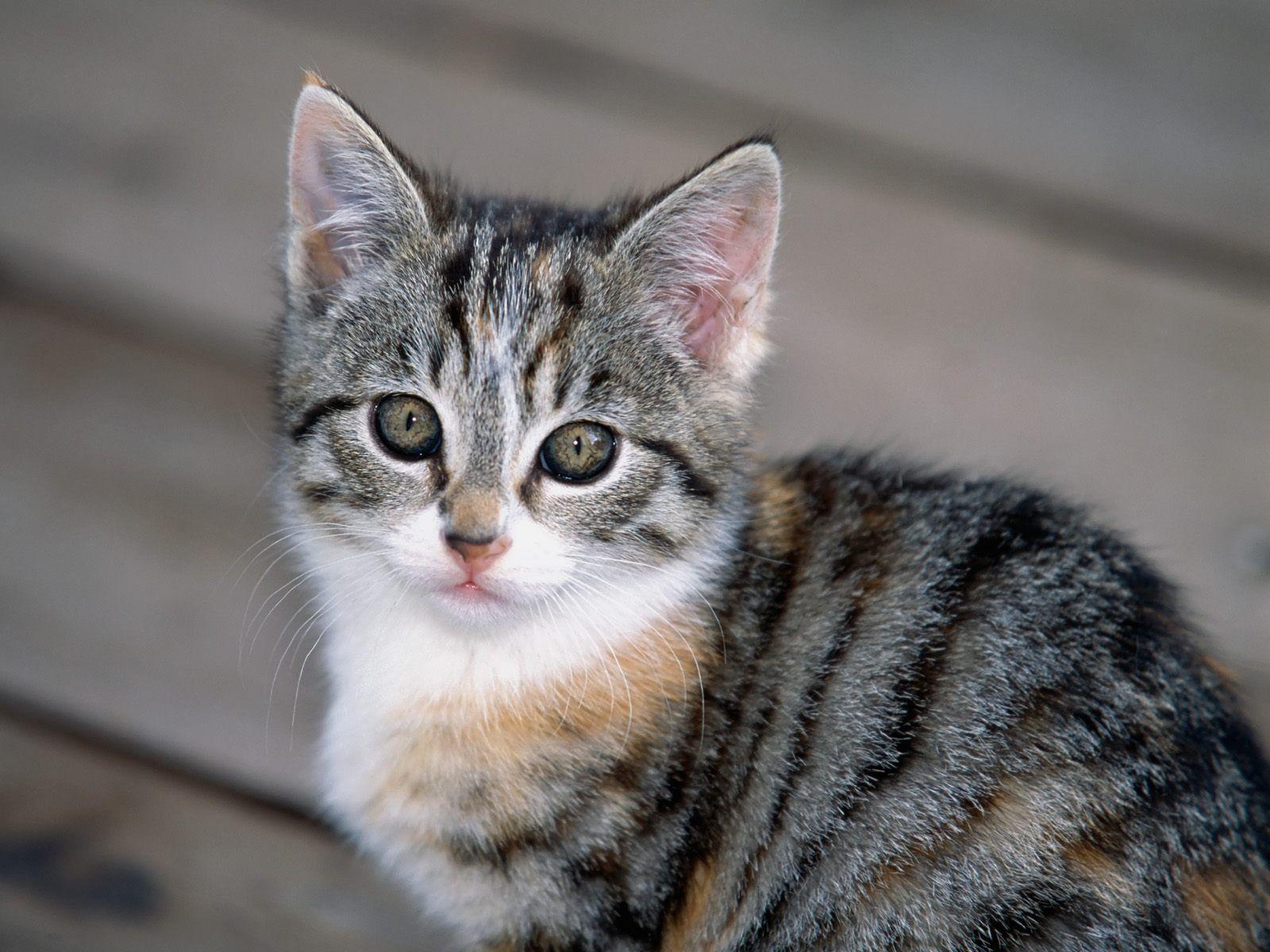 Tabby Kitten CUTE CATS 2 Pinterest