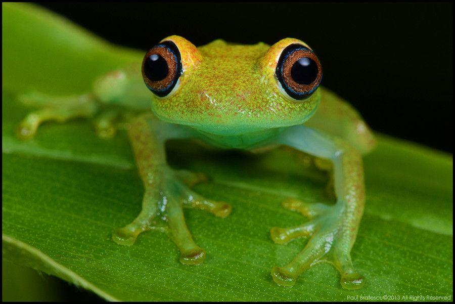 Grenouille verte (Boophis viridis ) - #Madagascar
