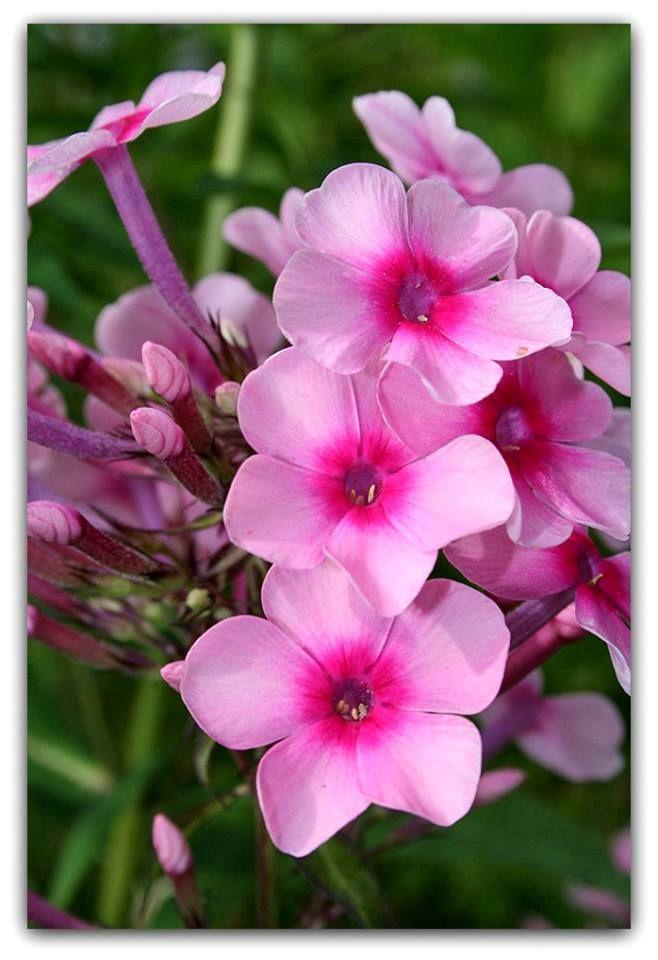 Flox, Chamas, Flocos, Flox-azul – Phlox drummondii   Nativa do estado do Texas nos Estados Unidos, a flox é uma planta de cerca de 30 cm de altura e apresenta ramagem densa, macia e folhas verde-claras em forma de lança. As flores surgem em pequenos buquês, e podem ser de diversas cores e formas, principalmente brancas, azuis, roxas, vermelhas ou róseas, com mesclas entre estas cores.  http://sergiozeiger.tumblr.com/post/116992391858/flox-chamas-flocos-flox-azul-phlox  Elas ainda podem ser…