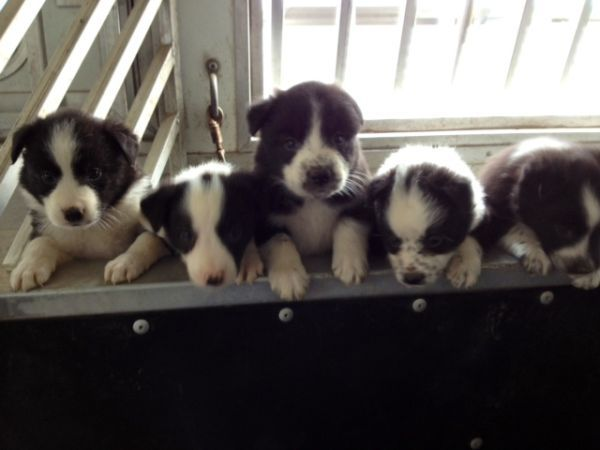 1 4 Blue Heeler 3 4 Border Collie Pups Super Smart Gratis Border Collie Puppies Blue Heeler Pets