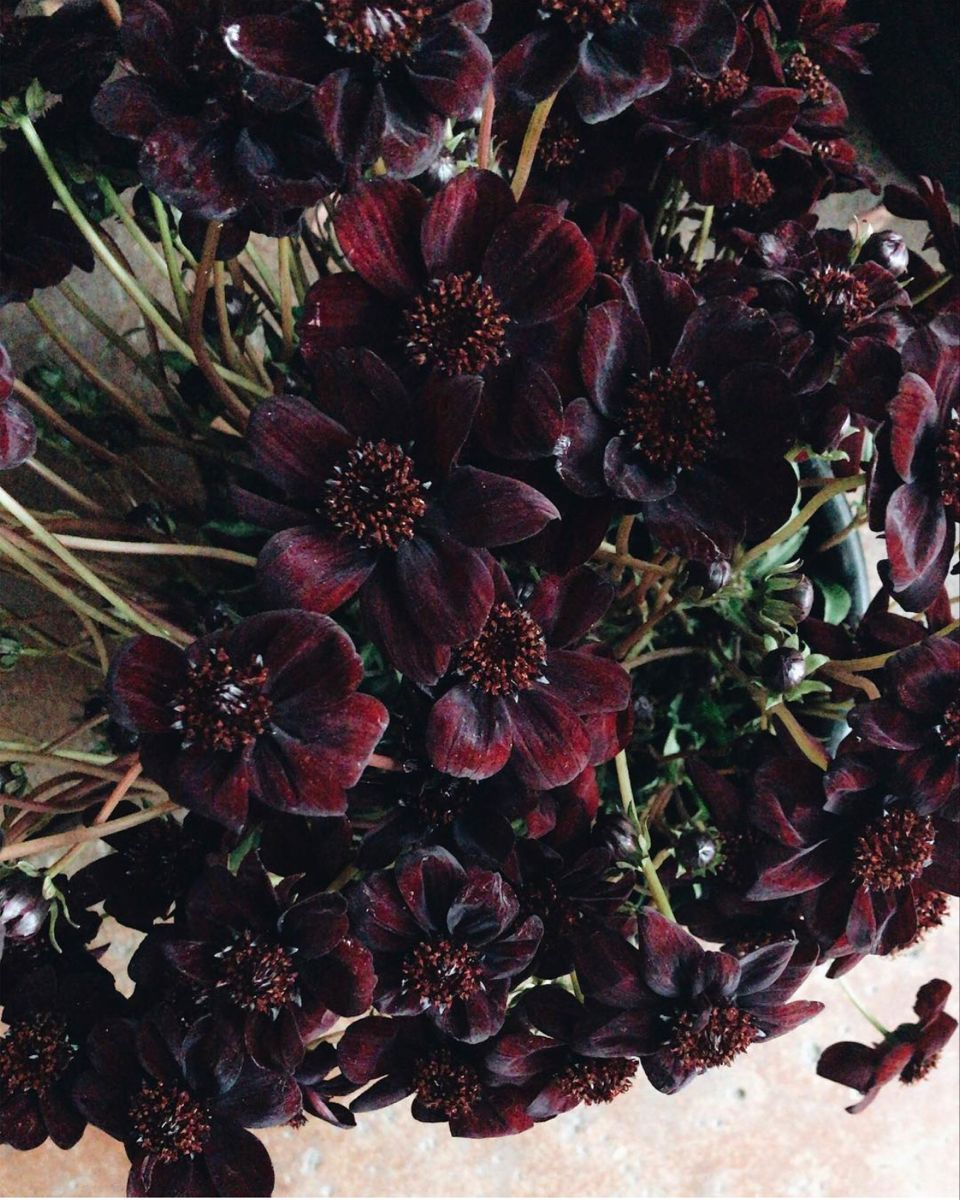 Shop For Chocolate Cosmos Flower In 2020 Chocolate Cosmos Flower Chocolate Cosmos Wholesale Fresh Flowers