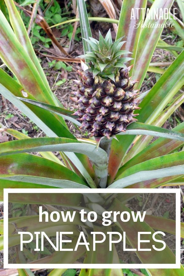 Pineapples are a tropical fruit, but even if you live in a cooler region you can grow a pineapple indoors  is part of Growing pineapple -