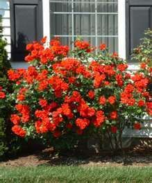 Gotta have a Knockout rose bush. #knockoutrosen Gotta have a Knockout rose bush. #knockoutrosen Gotta have a Knockout rose bush. #knockoutrosen Gotta have a Knockout rose bush. #knockoutrosen