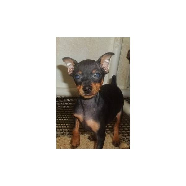 Tinker Free Shipping A Cute Female Miniature Pinscher Puppy For