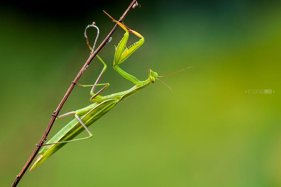Mantis religiosa1
