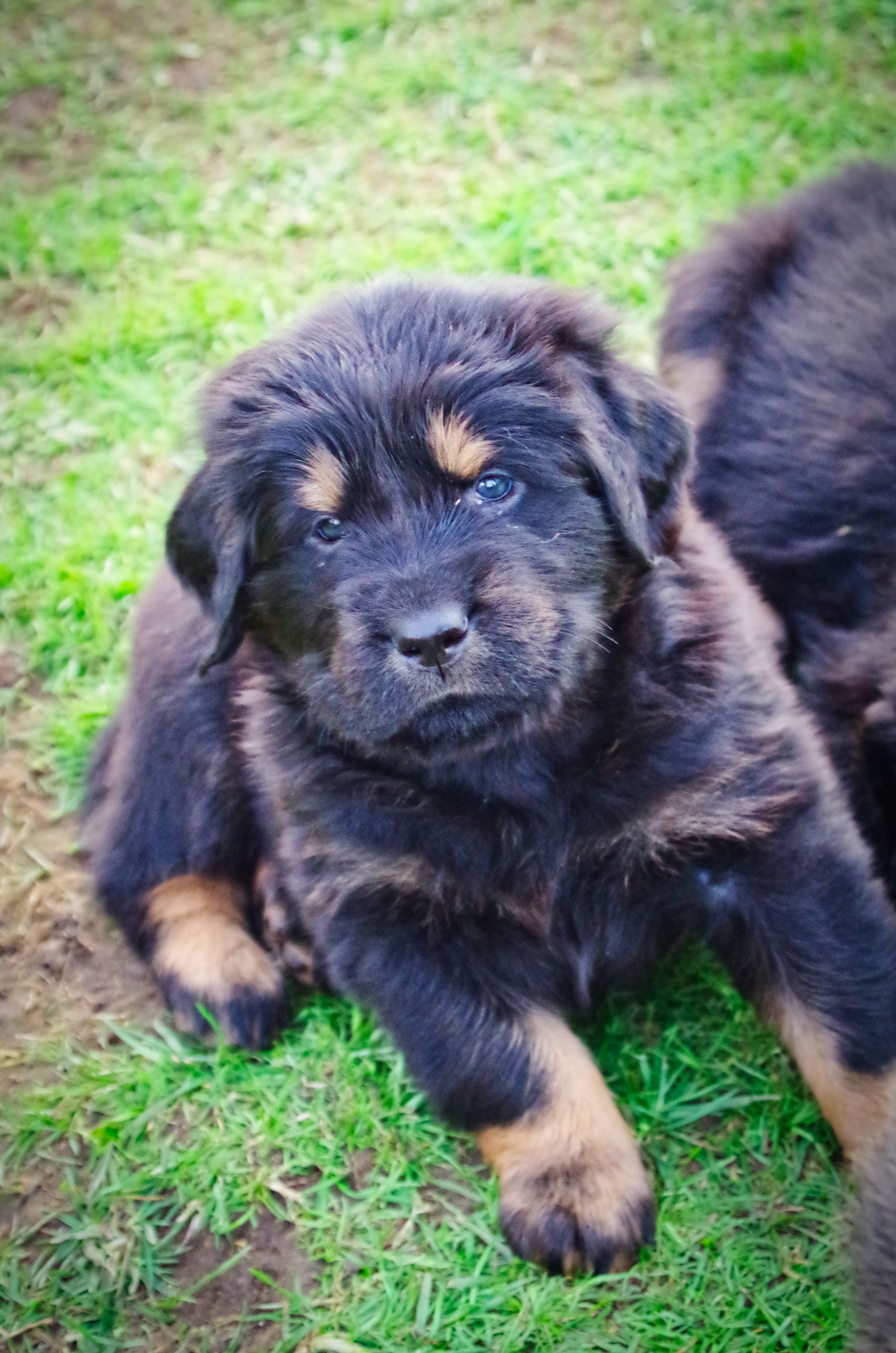 5 weeks old puppy from Dokhyi Kennel in 2020 Mastiff
