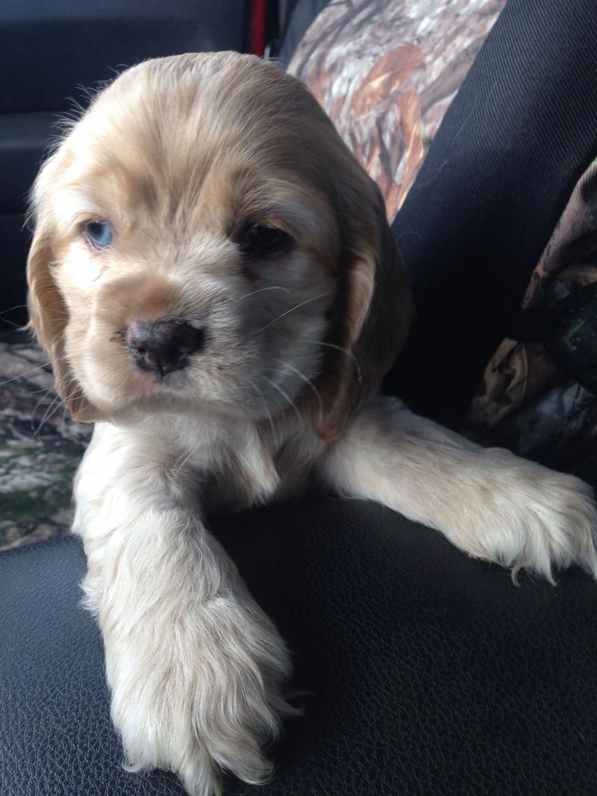 Learn More Relevant Information On Cocker Spaniel Dog Have A Look At Our Web Site With Images American Cocker Spaniel Puppies Cocker Spaniel Dog