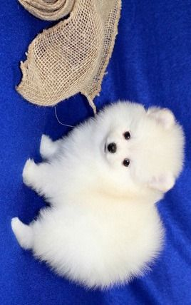 Ddcs Akc Reg Teacup Pomeranian Puppies For Salefor More Details And