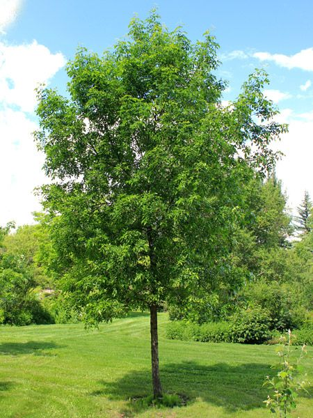 Fraxinus Pennsylvanica Green Ash Zone 3 H 30 40 Fast Growing Shade Trees Green Ash Tree Green Ash