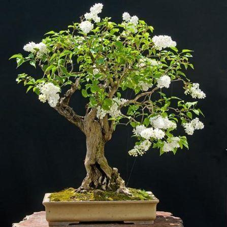 Pekin Lilac Or China Snow Syringa Pekinensis Bonsai Seeds Exotic