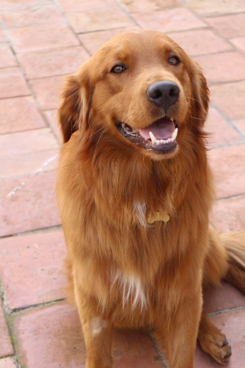 Meet Bailey Southern California Golden Retriever Rescue Golden Retriever Rescue Golden Retriever Dog Meet