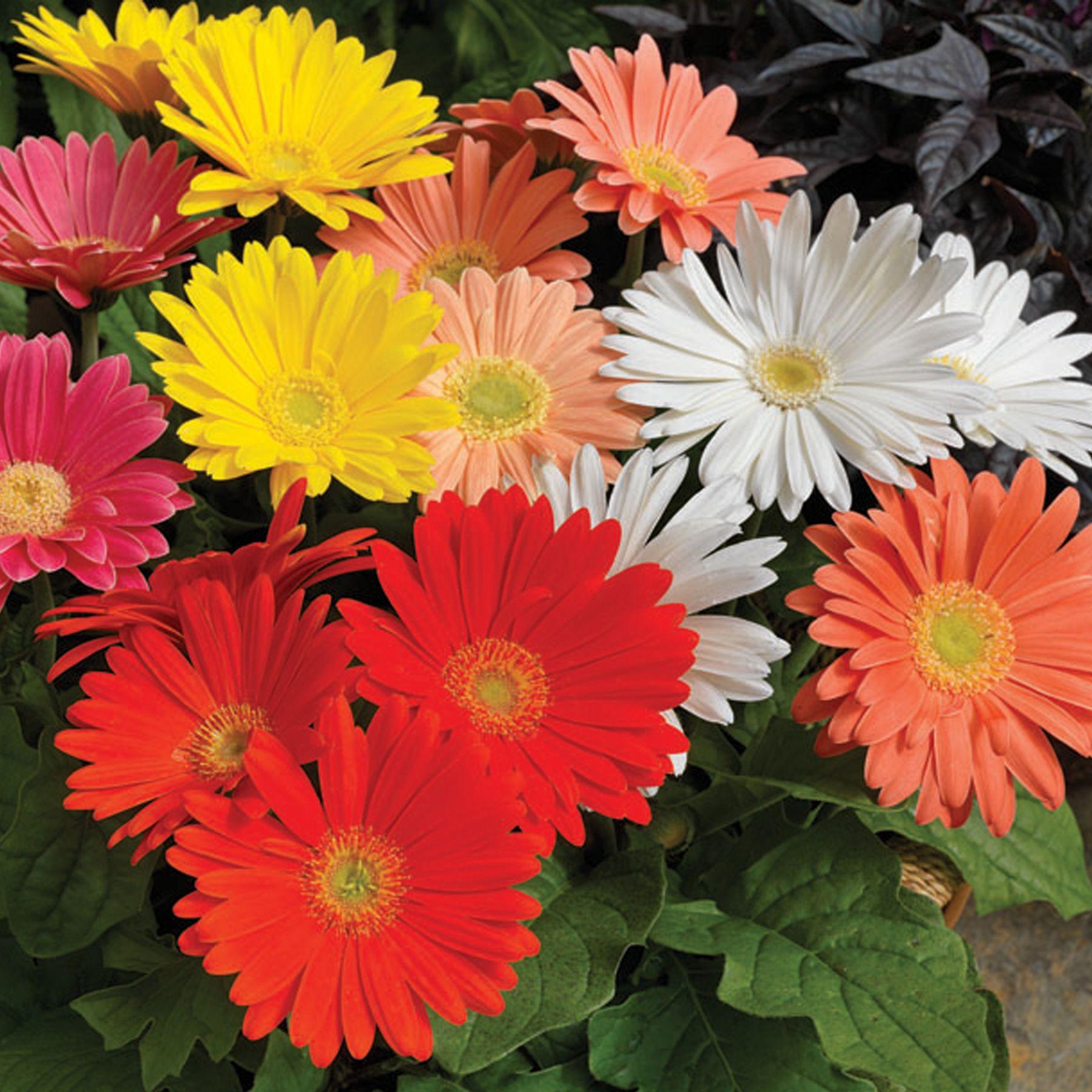 Ezdazy Springtime Mix Gerbera Gerbera Plants Annual Flowers