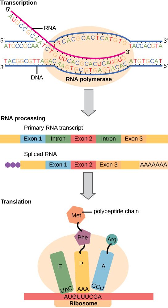Central Dogma And Protein Synthesis By Cgales Via Slideshare Dna