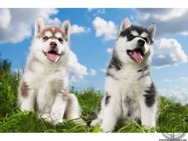 Siberian Husky Puppies For Sale At Best Price In Mumbai Maharashtra India In Pet Animals And Accessories Category Under B Husky Dogs Husky Siberian Husky Dog