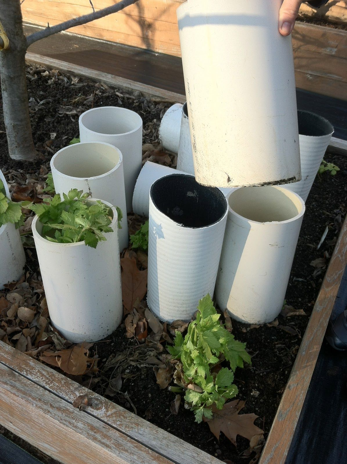 winterizing your garden part 2 last harvest celery blanching