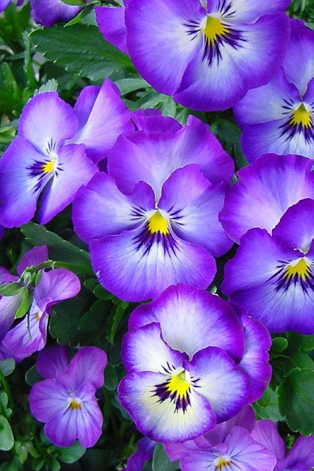 Pin By Barbara Brastoff On Flora Pansies Flowers Chrysanthemum Flower Seeds Orchid Seeds