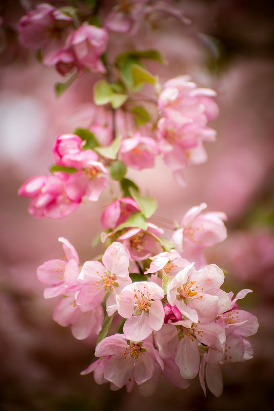 Pink Blossoms In 2021 Pink Blossom Spring Blossom Blossom