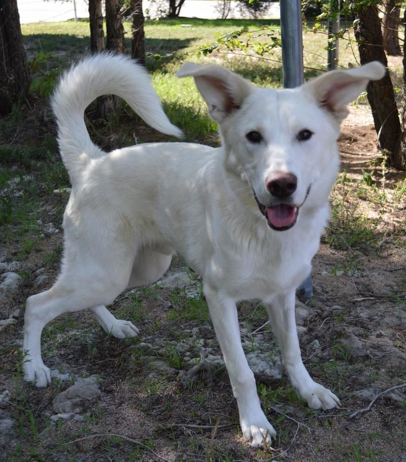 Adopt Walter White On Petfinder German Shepherd Husky German