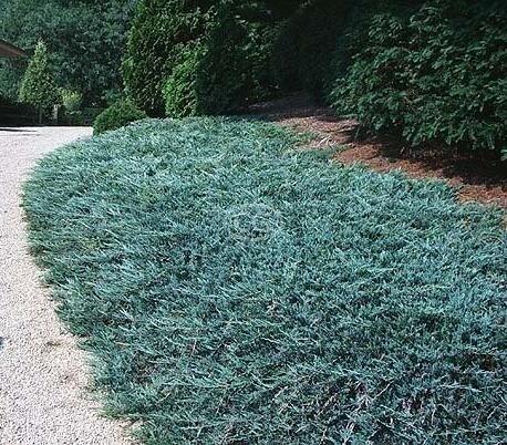 Juniperus Horizontalis Wiltonii Blue Rug Juniper Creeping Pots 3 In