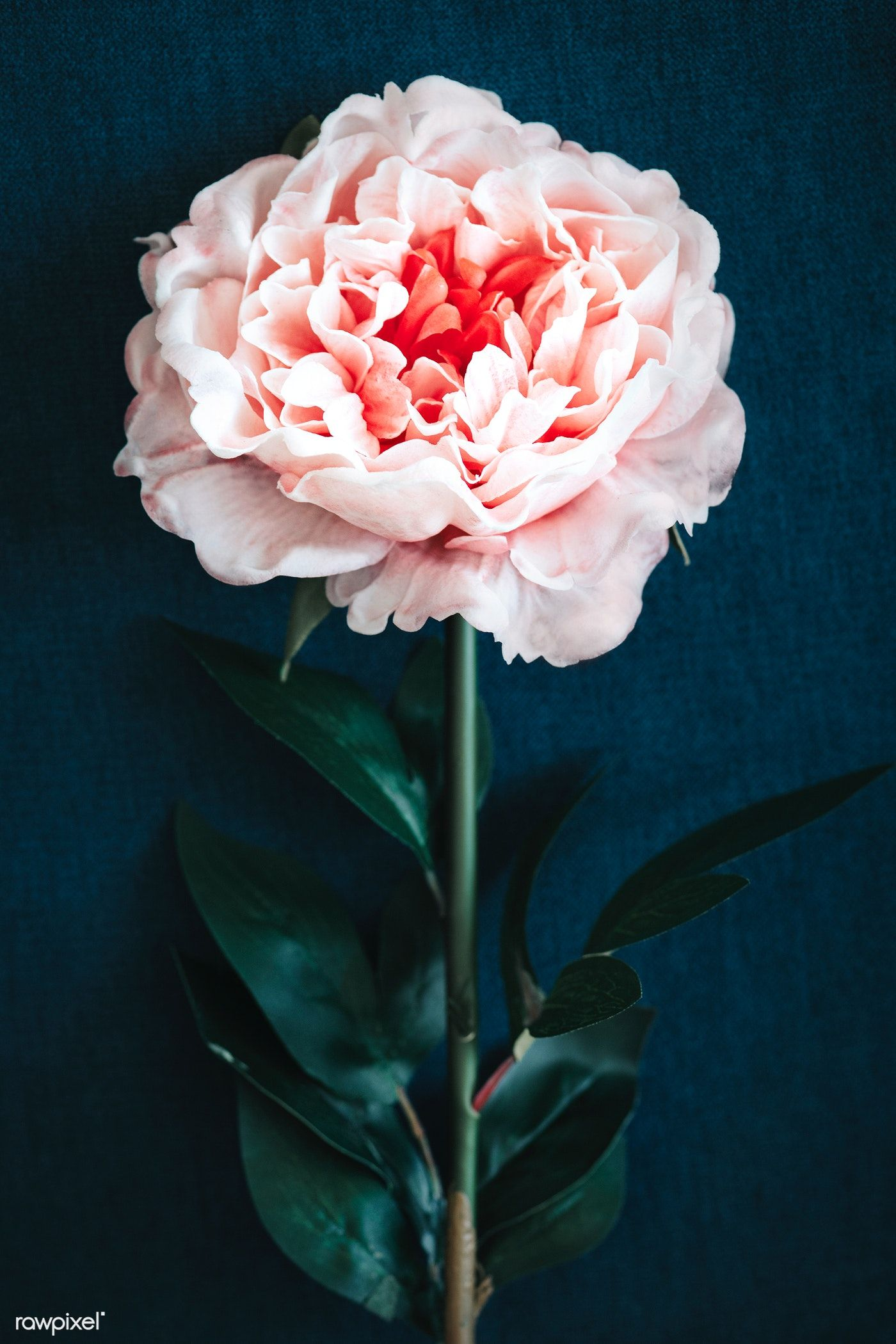 Download premium photo of Pink peony on blue background