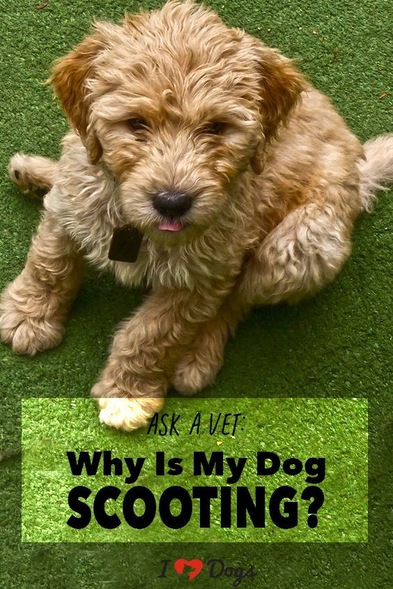 Ask A Vet Why Is My Dog Scooting? Cat, dog memes, Dogs