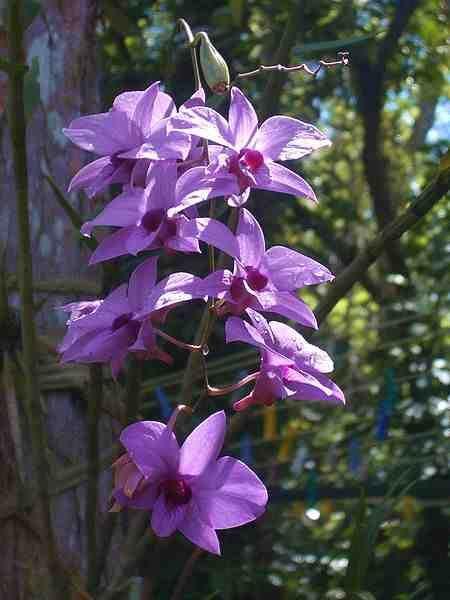 Anggrek Larat Dendrobium Phalaenopsis Anggrek Langka Dari Maluku