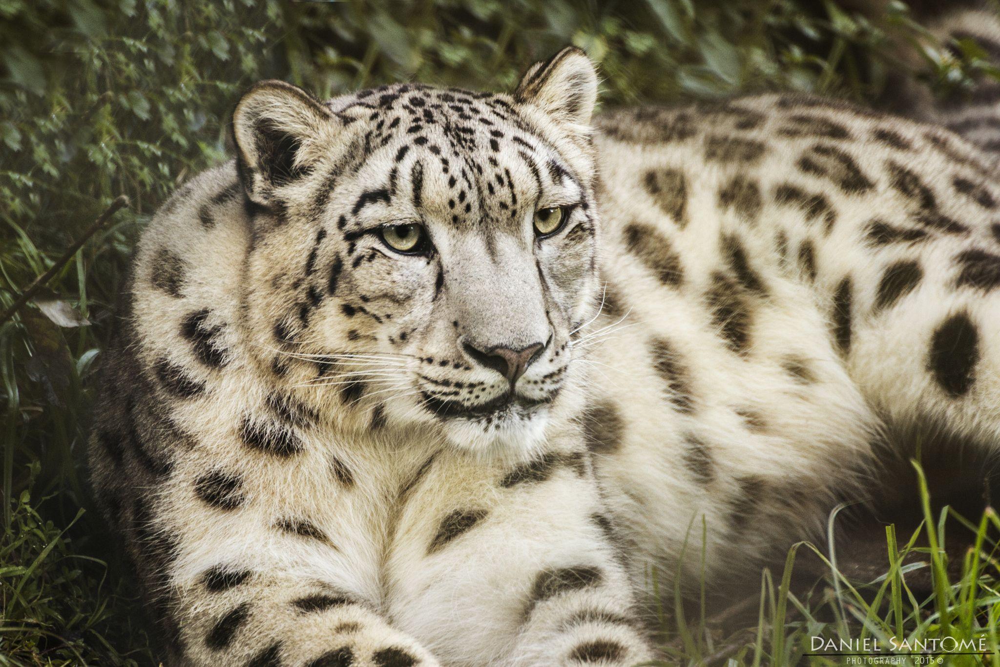 """""""Snow Queen"""", un leopardo de las nieves descansando en el Zoo Santo Inácio."""