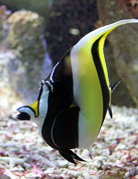 Moorish Idol Zanclus Cornutus In The Pacific Reef Community