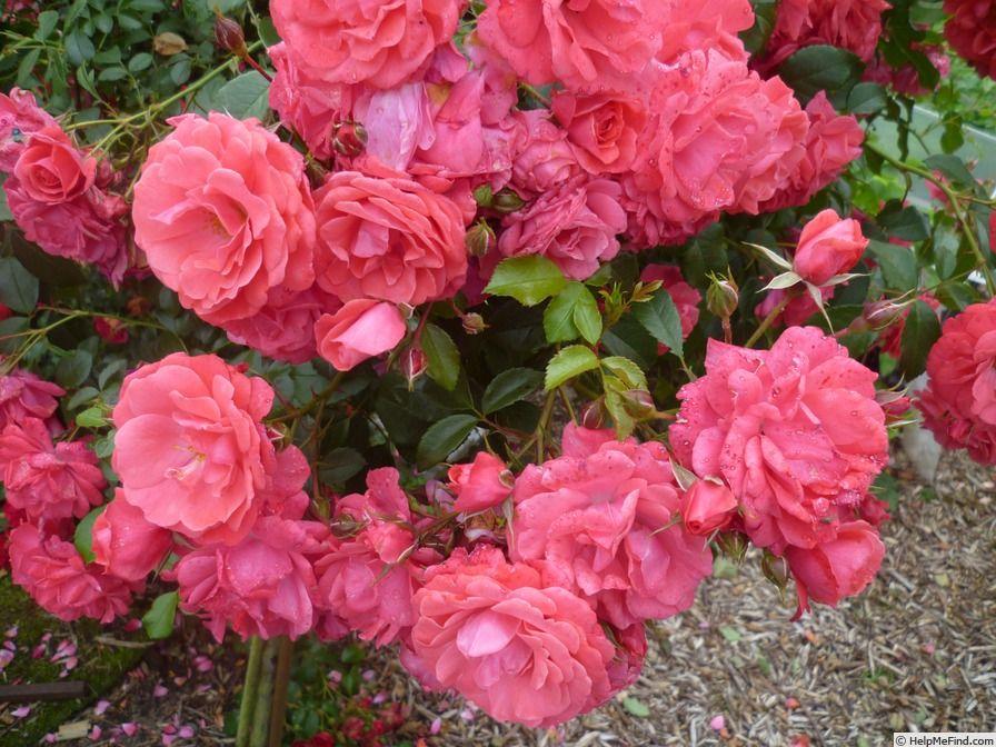 Bad Birnbach Rose Photo Rose Rose Photos Flowers
