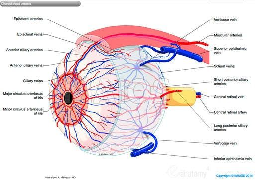 Choroid blood vessels: Short posterior ciliary arteries Long ...