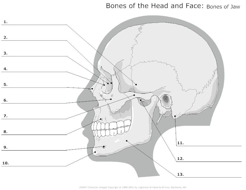 advanced skull labeling free worksheets - Google Search | Human ...