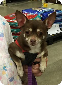 Pin By Dee Zaninelli On Animals Up For Adoption Chihuahuas For