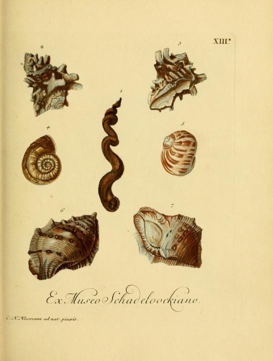 d.2 (1771) - G. W. Knorrs Verlustiging der oogen en van den geest ; of Verzameling van allerley bekende hoorens en schulpen, die in haar eigen kleuren afgebeeld zyn. - Biodiversity Heritage Library