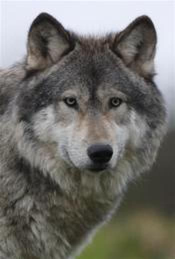 Giant Wolf Dogs For Sale Wolf Dogs Uk Wolf Dog Breeders Cute