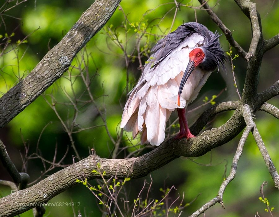 The Crested Ibis by macao_woody