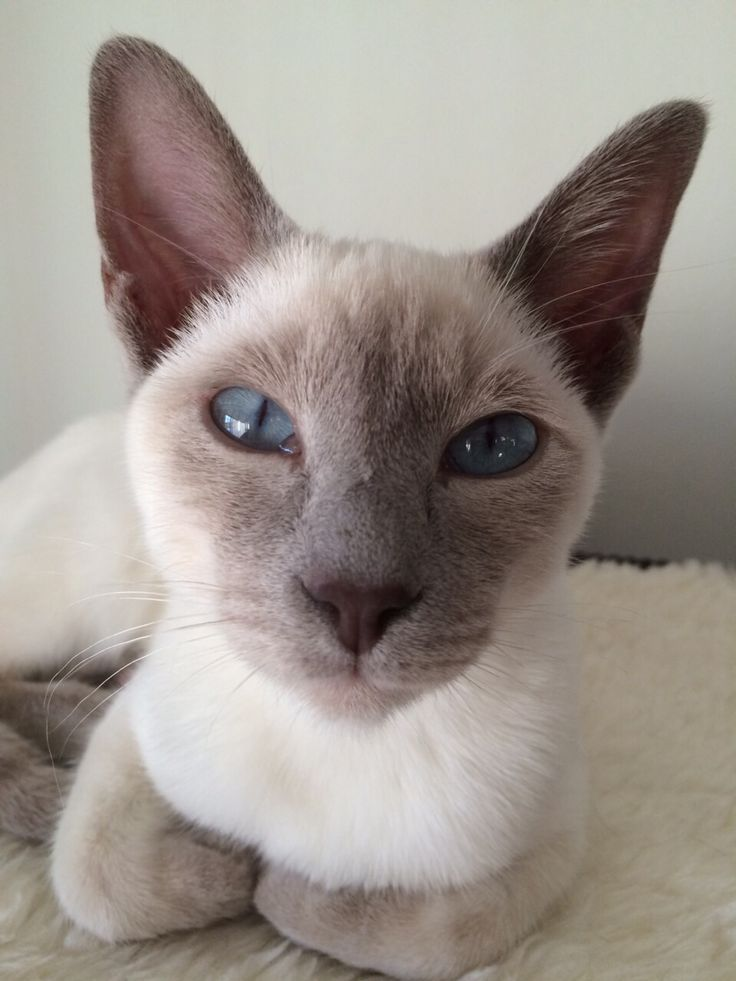 Most Current Cost-Free Thai Siamese Cats Tips Siamese