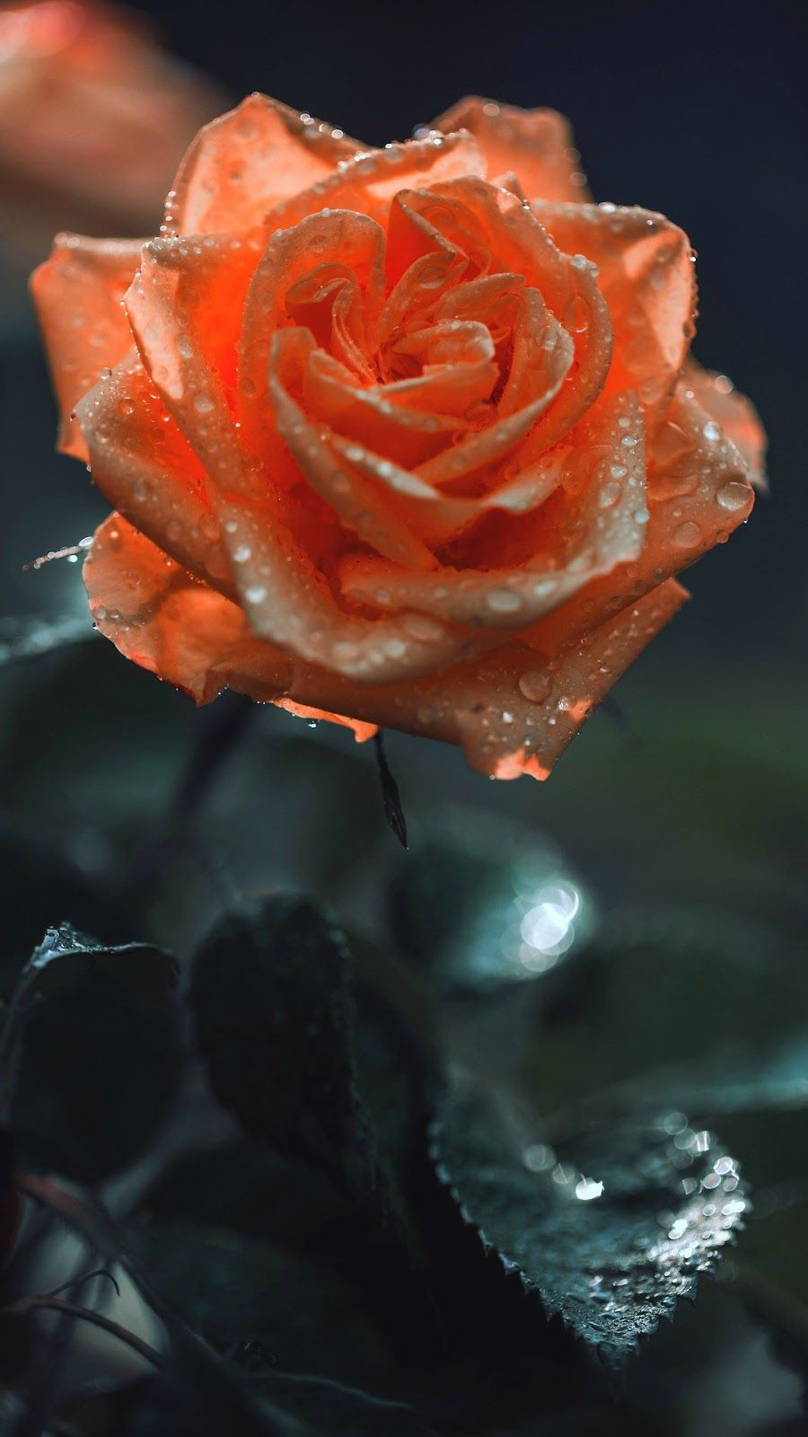 Orange Rose Wallpaper Iphone Android Flower Background Iphone Hd Flowers Rose Wallpaper