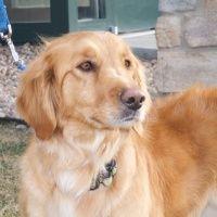 Mia A Sweet Girl With Golden Retriever Rescue In Denver Co 3 4
