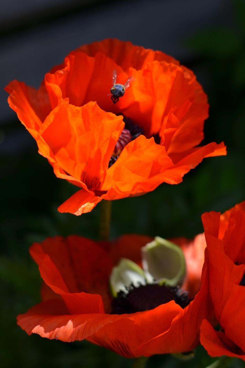 unikko - poppy- papaver