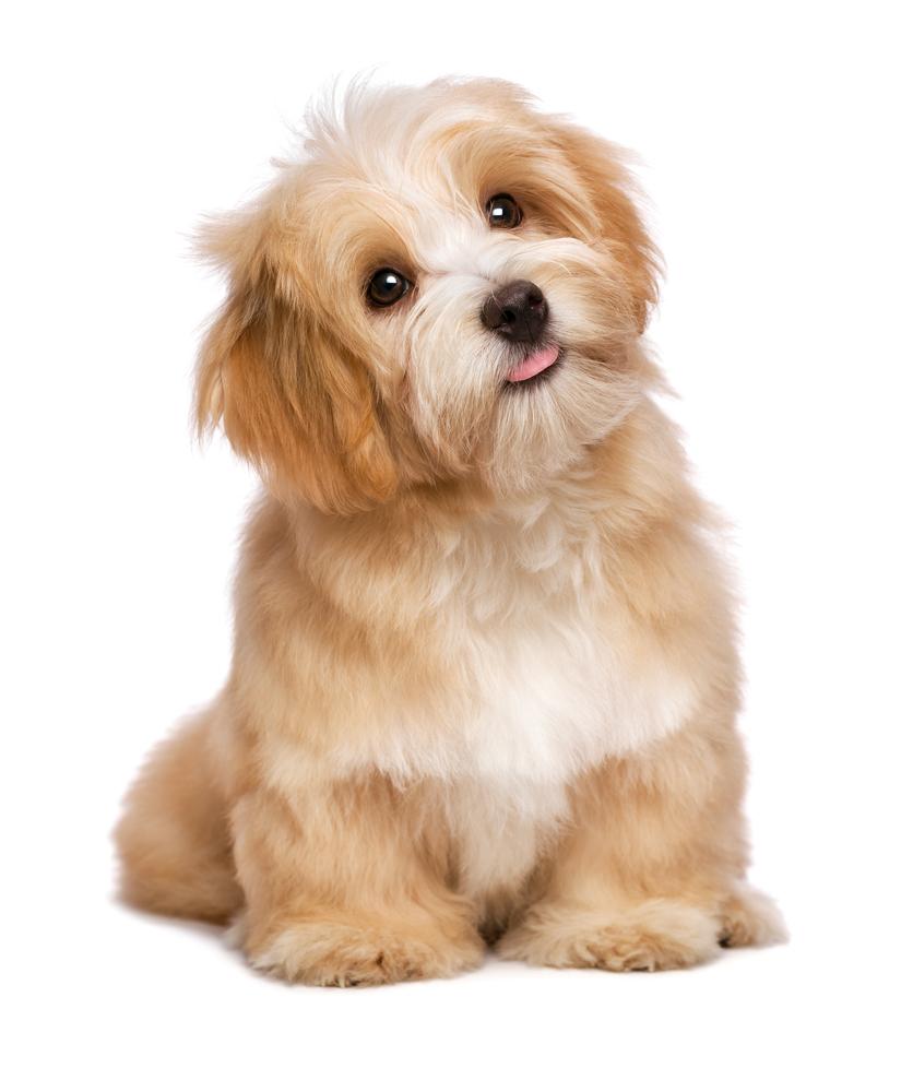 Beautiful Happy Reddish Havanese Puppy Dog Puppy Dog Havanese