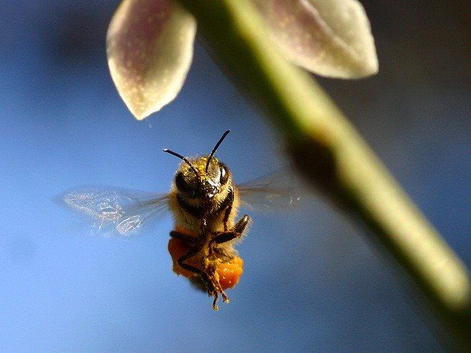 #DatoCurioso Hace cinco años un científico de la Universidad de Monash en Australia demostró que las #Abejas entrenadas con una recompensa de azúcar, eran capaces de reconocer rostros humanos. La abeja volaba hasta la fotografía de un determinado rostro tras lo cual recibía su recompensa.